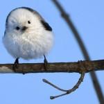 シマエナガ小鳥